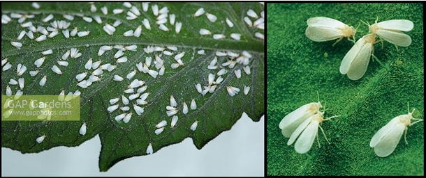 about-Whiteflies