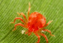 about-red-mites-in-hindi