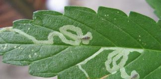 Leaf Minor