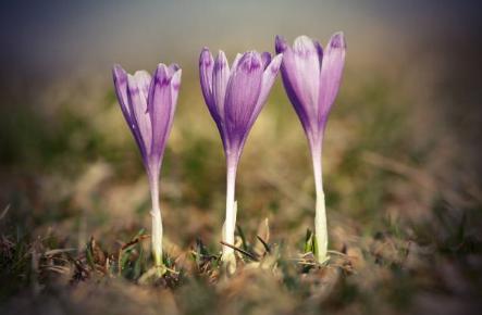 saffron planting
