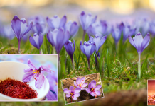 saffron crop in hindi