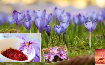 saffron crop in hindi