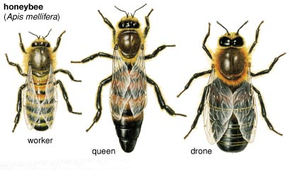 types of bee in hindi