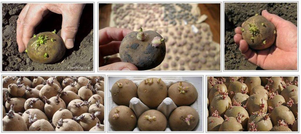 potato seed treatment india in hindi