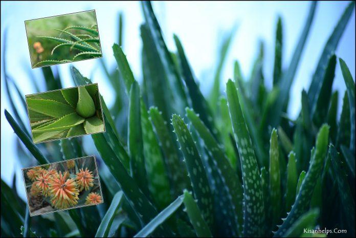 एलोवेरा की खेती aloe vera ki kheti kaise kare in hindi