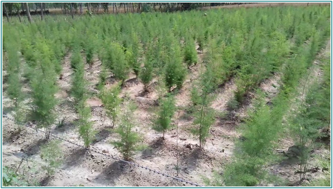 asparagus racemosus plantation in hindi